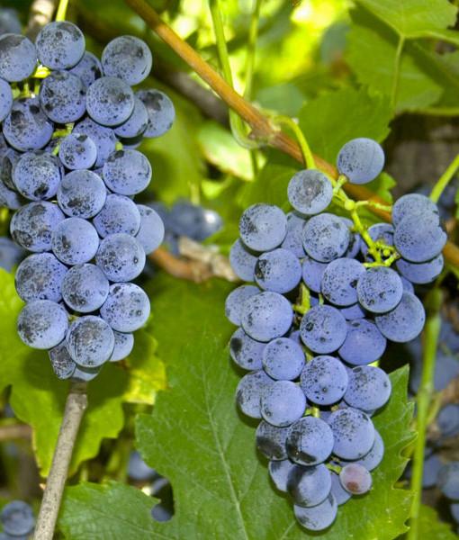 Uva fragola miriam piccoli frutti e confetture for Sognare uva fragola